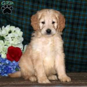 a Goldendoodle puppy named Cassidy