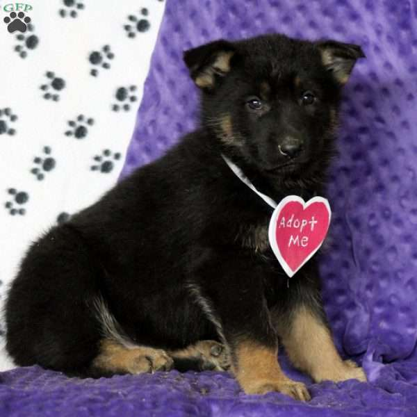 Ceasar, German Shepherd Puppy