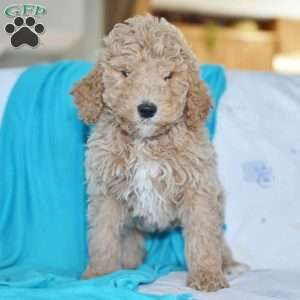 a Standard Poodle puppy named Chester
