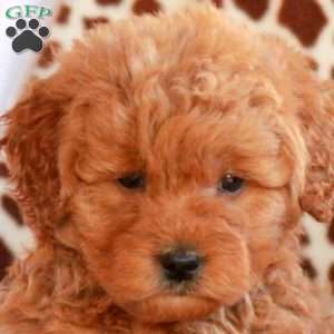 Colby, Miniature Goldendoodle Puppy
