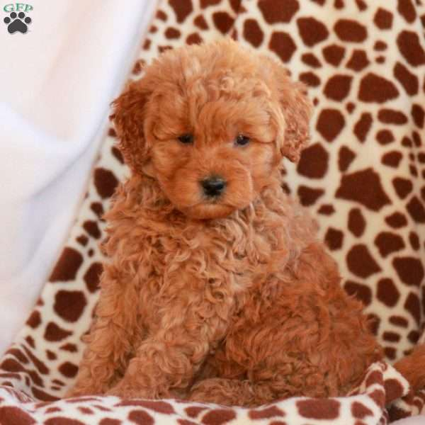 Colby, Mini Goldendoodle Puppy