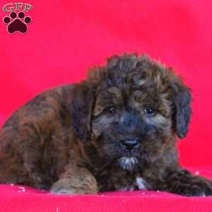 Dolly, Whoodle – Miniature Puppy