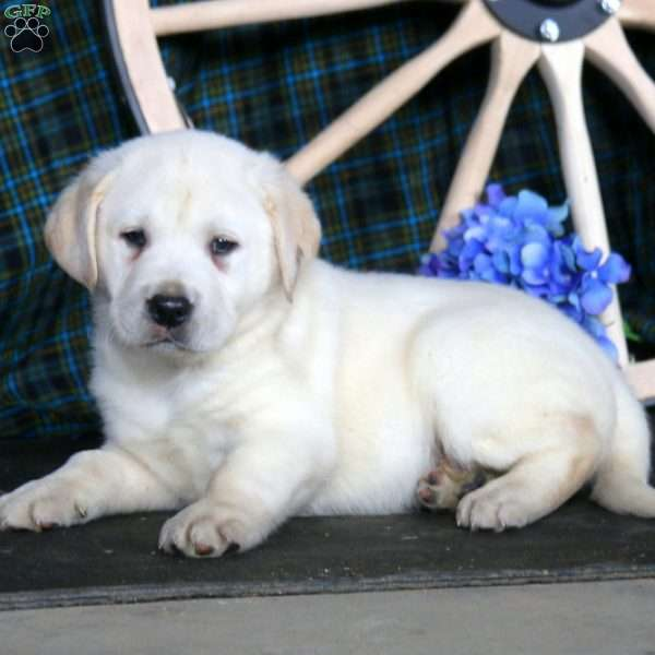 Donnie, Yellow Labrador Retriever Puppy