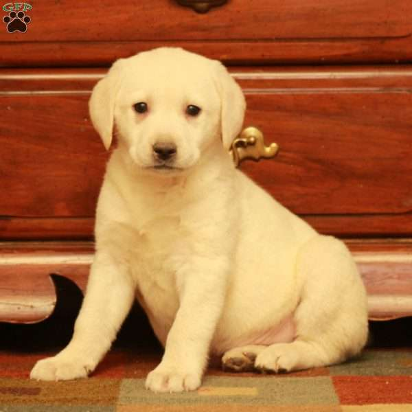 Faith, Yellow Labrador Retriever Puppy