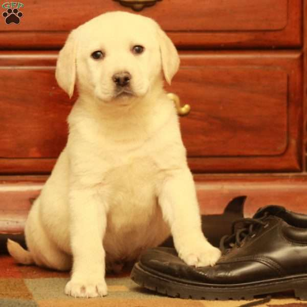 Farley, Yellow Labrador Retriever Puppy