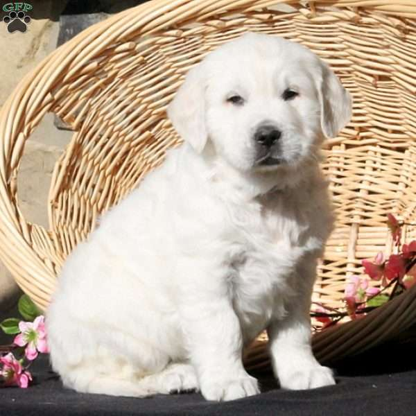 Fay, English Cream Golden Retriever Puppy