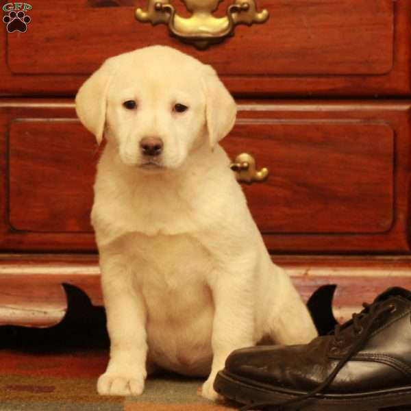 Felicity, Yellow Labrador Retriever Puppy