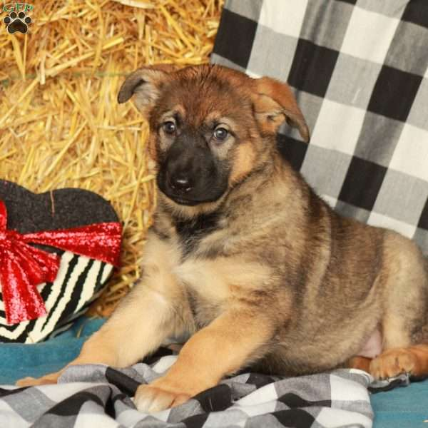 Holly, German Shepherd Puppy