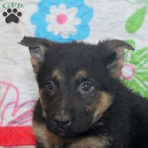 Jake, German Shepherd Puppy
