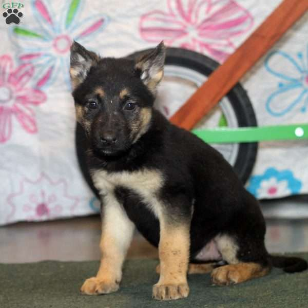 Jenna, German Shepherd Puppy