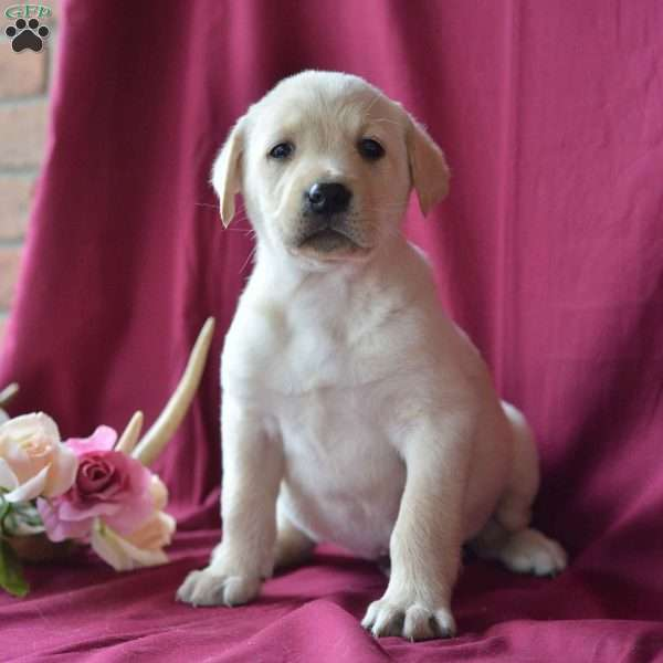Jerry, Yellow Labrador Retriever Puppy