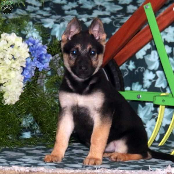 Jolene, German Shepherd Puppy