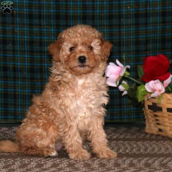 Julie, Miniature Poodle Puppy