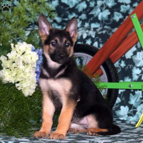 June, German Shepherd Puppy