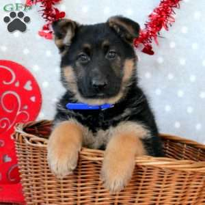 Justine, German Shepherd Puppy