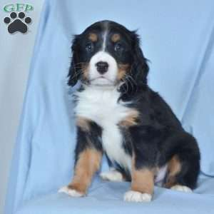 a Miniature Bernese Mountain Dog puppy named Karson