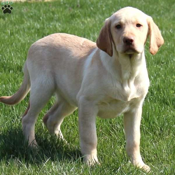Ken, Yellow Labrador Retriever Puppy
