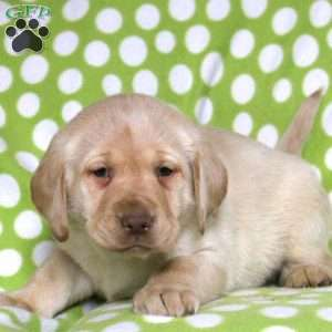 a Yellow Labrador Retriever puppy named Ken
