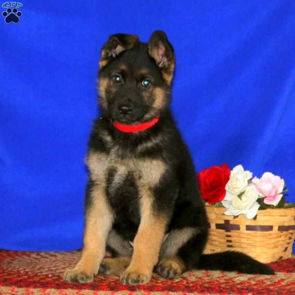King, German Shepherd Puppy
