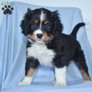 a Miniature Bernese Mountain Dog puppy named Koby