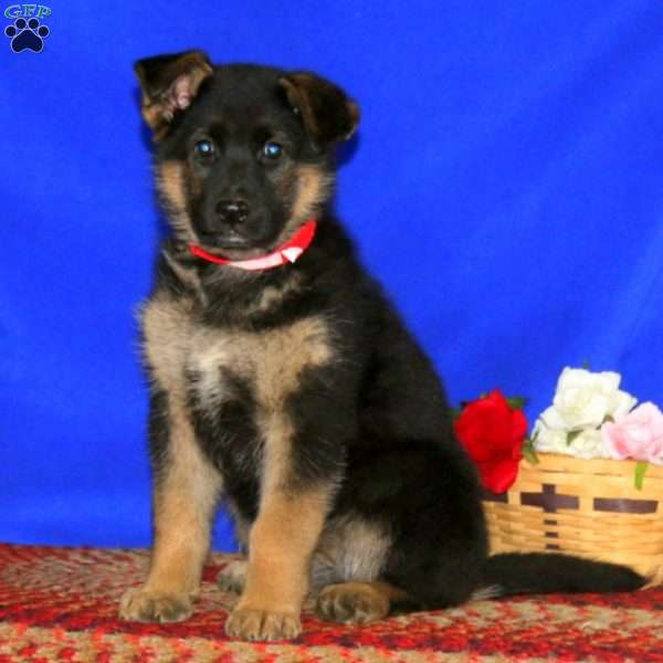 Kona, German Shepherd Puppy