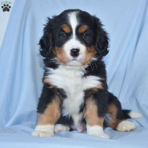 Kyle - Miniature Bernese Mountain Dog Puppy For Sale in Ohio