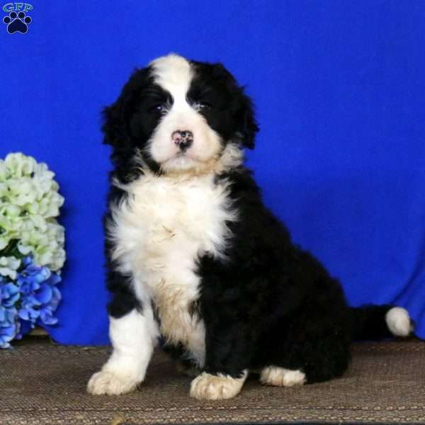 Leana, Bernedoodle Puppy