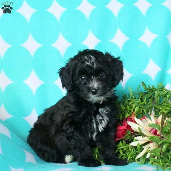 Lincoln, Morkie-Poo Puppy