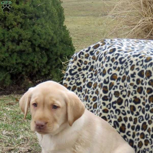 Lowell, Yellow Labrador Retriever Puppy