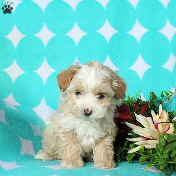Lucky, Morkie-Poo Puppy