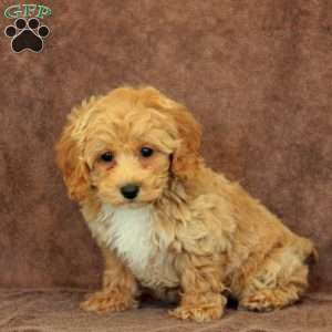 Macey, Miniature Poodle Puppy