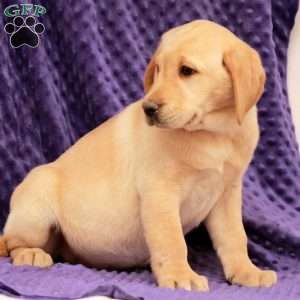 Marble, Yellow Labrador Retriever Puppy
