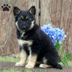 a German Shepherd Mix puppy named Marcy