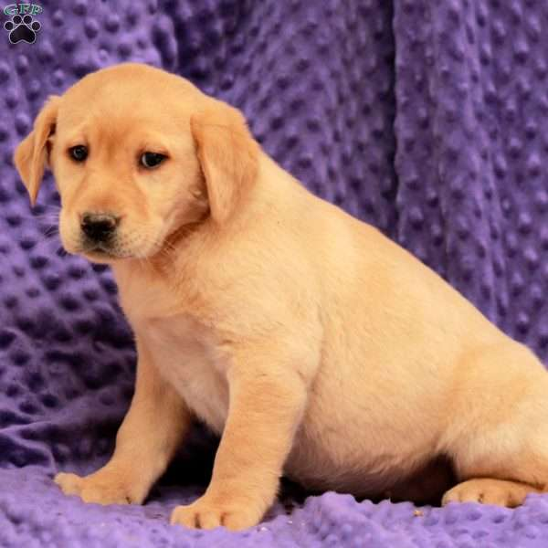 Melon, Yellow Labrador Retriever Puppy