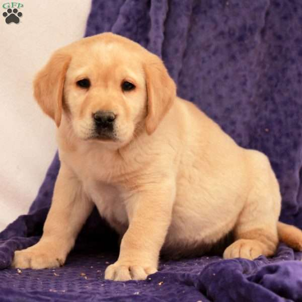 Mitch, Yellow Labrador Retriever Puppy
