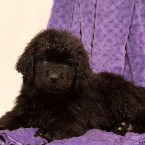 Newfoundland Mix Puppy