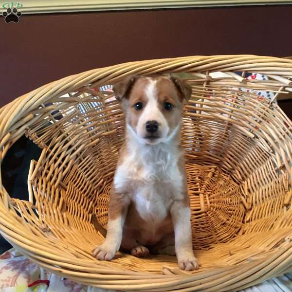 Olive, Jack Russell Mix Puppy