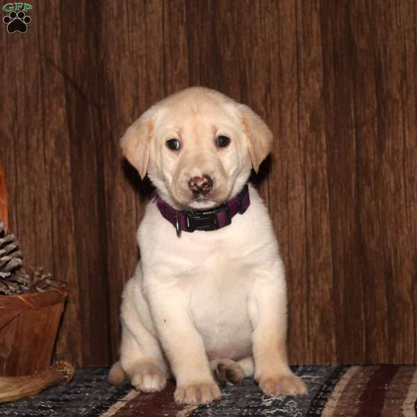 Onya, Yellow Labrador Retriever Puppy