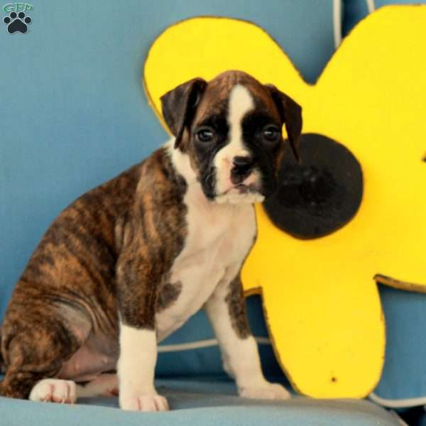 Patience, Boxer Puppy