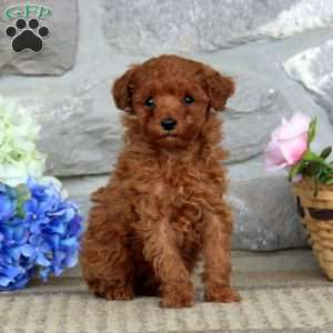 a Miniature Poodle puppy named Princess