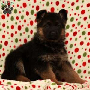 Raven, German Shepherd Puppy