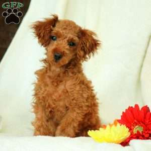 a Toy Poodle puppy named Rayanne