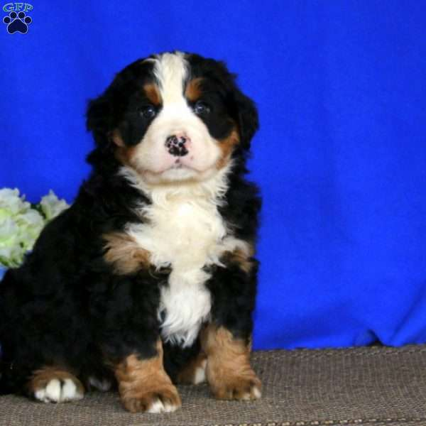 Regina, Bernese Mountain Dog Puppy