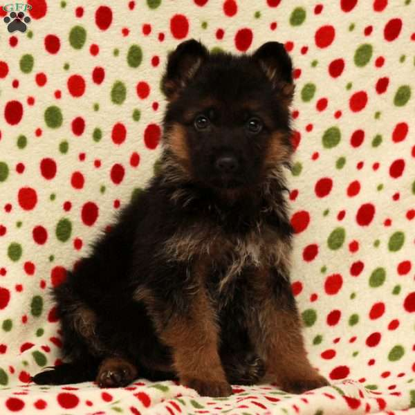 Ruxby, German Shepherd Puppy