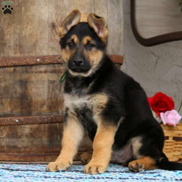 Sarge, German Shepherd Puppy