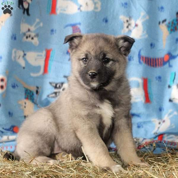 Savannah, Norwegian Elkhound Puppy