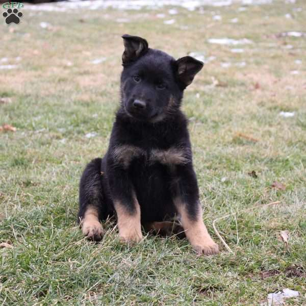 Scarlett, German Shepherd Puppy