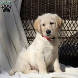 a Labradoodle puppy named Shayla