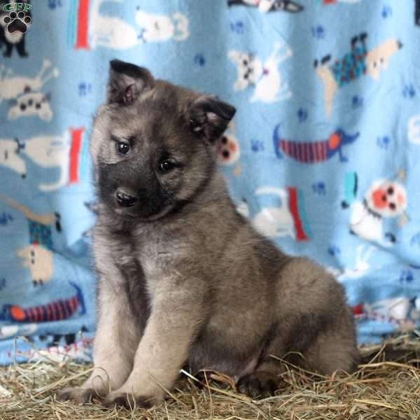 Sid, Norwegian Elkhound Puppy