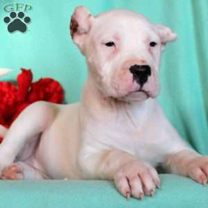 a Dogo Argentino puppy named Snookie